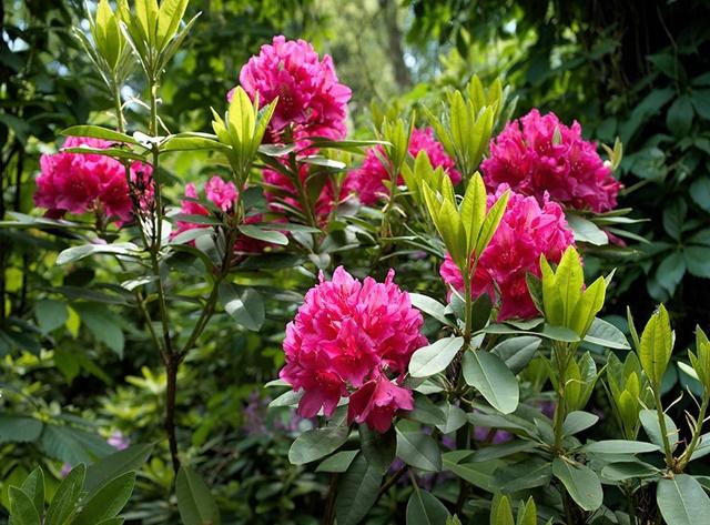 Fascynujące różaneczniki